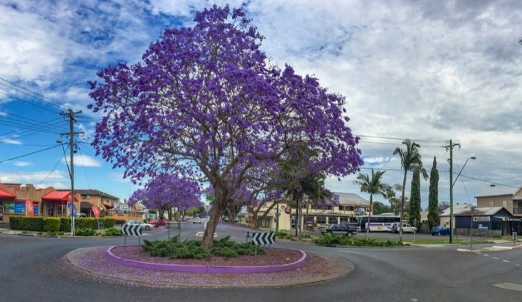 A lavender tree at a roundabout in regional NSW
