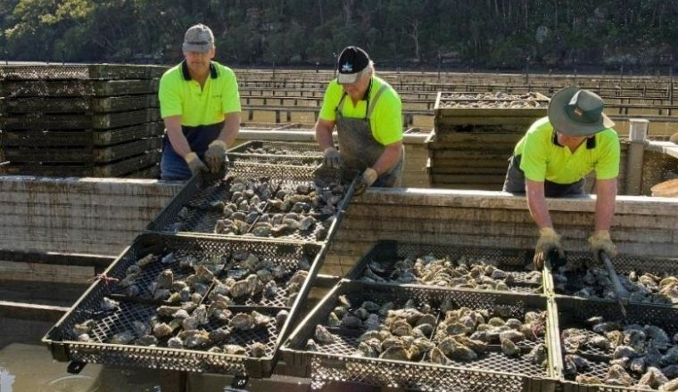 Three men working at an oyster farm in NSW