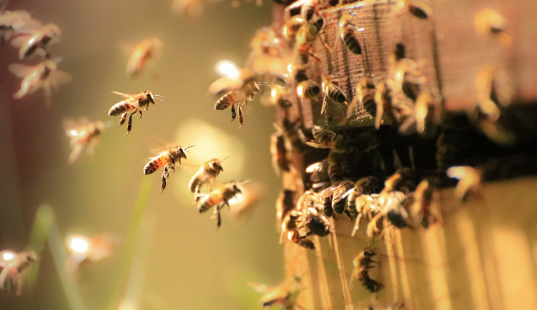 Honey Bees working hard in the spring sunlight.