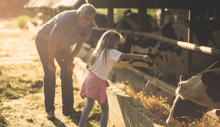 A young girl helping a farmer feed cows fodder